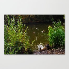 Busted! Cat watches the ducks Canvas Print