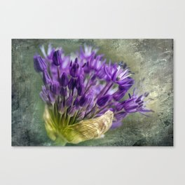 Allium Blossoms Canvas Print
