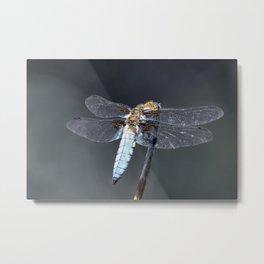 Dragonfly - Libellula depressa Metal Print
