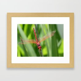 Closeup of Red Skimmer or Firecracker Dragonfly Framed Art Print