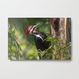 Pileated Woodpecker 6340 Metal Print