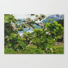 norwegian cherry blossom  Canvas Print