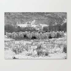 Sheep on the Brecon Beacons.Wales. Canvas Print