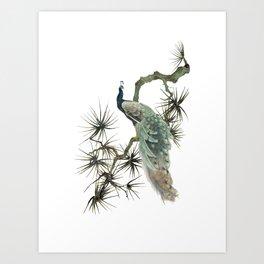 Turquoise Peacock Art Print