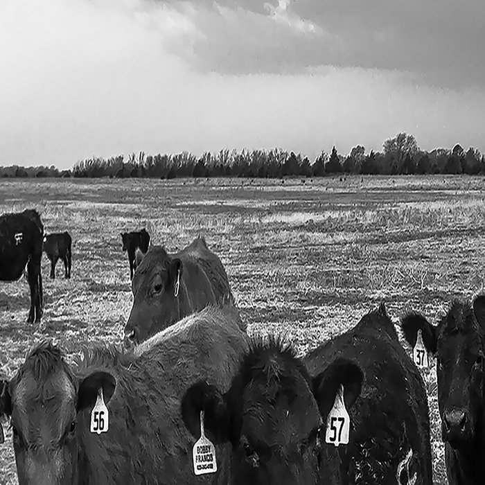 Hanging Out - Black and White Photo of Cows in Kansas Leggings