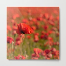Poppy poppies summer field Metal Print