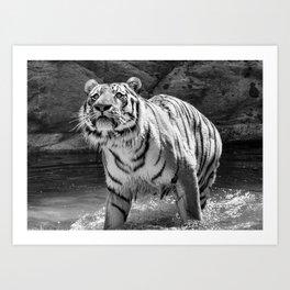 Tiger Photography | Animal | Wildlife | Big Cat | Feline | Mammal | Art Art Print