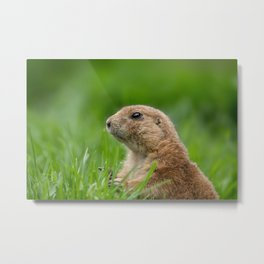 Black-tailed prairie dog in the grass Metal Print