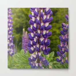 Lupine Flowers in New Zealand Meadow Metal Print