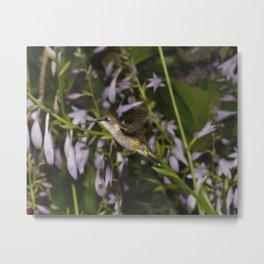 Hovering Hummingbird and Hostas 37 Metal Print