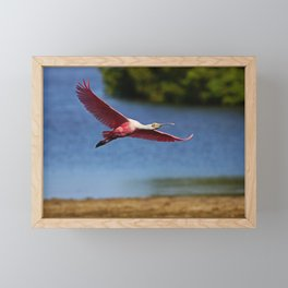The Spoonbill in Flight at Ding Framed Mini Art Print