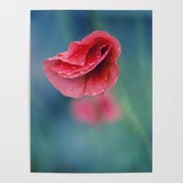 red poppy with drops Poster