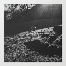 sheep under sunlight. rydal, lake district, uk Canvas Print