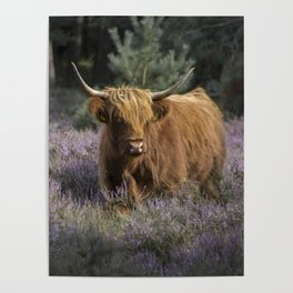 Red highland cow in purple field Poster