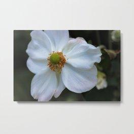 Japanese Anemone Windflower Metal Print