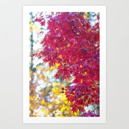 Maple in the Fall Art Print