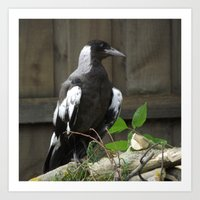 Juvenile magpie  King of the Hill Art Print
