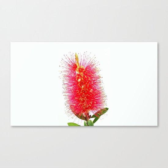 Australian Bottlebrush Canvas Print