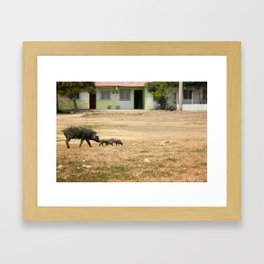 Pigs crossing the Pitch in Cartegena Framed Art Print