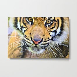 Tiger Magnetism by Reay of Light Metal Print