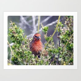 Handsome Male House Finch Art Print