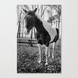 Spotted Horse (bw) Canvas Print