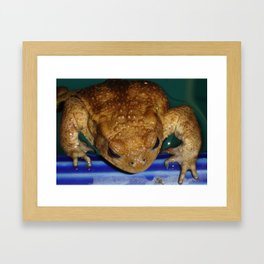 Bufo Bufo Clinging To The Edge Of A Swimming Pool Framed Art Print
