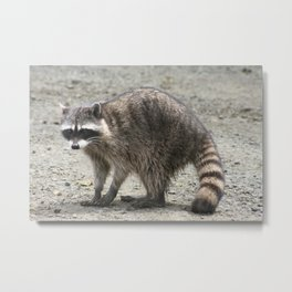 What's up? Raccoon caught in the act. By Jonesy Metal Print