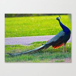 Peacock in Profile Canvas Print
