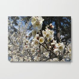 Cherry Blossom / Sakura / サクラ(桜) Metal Print