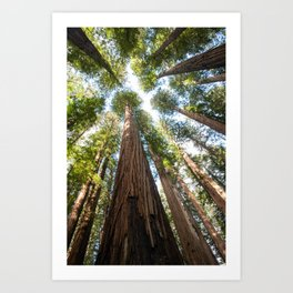 Humboldt Redwoods Photography, California State Park, Giant Redwoods, Forest Art, Tree Tops Art Print