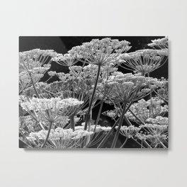 Black & White Study of Giant Hogweed Flowerheads Metal Print
