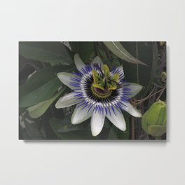 Delicate and Beautiful Passiflora Flower Metal Print