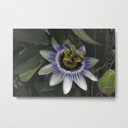 Delicate and Beautiful Passiflora Flower Metal Print