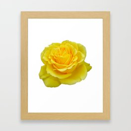 Beautiful Yellow Rose Closeup Isolated on White Framed Art Print