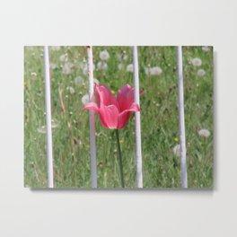 Pink Tulip Behind White Metal Bar Fence Metal Print