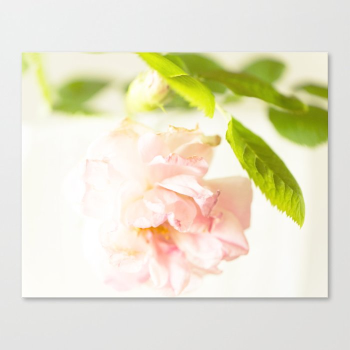 Romantic Soft Pink Rose On A White Background #decor #buyart #society6 Canvas Print
