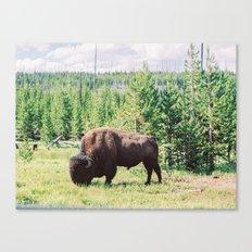 Buffalo!  Canvas Print
