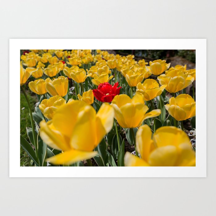 Many yellow tulips and one red Art Print
