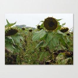 Sullen Sunflowers Canvas Print