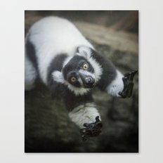 Lemur In The Glass Canvas Print