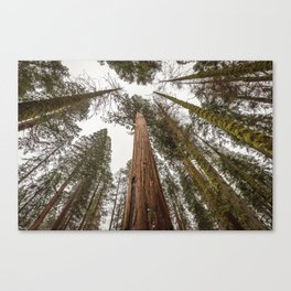 Sequoia Stretch - Nature Photography Canvas Print