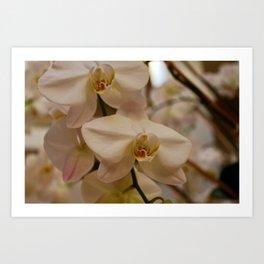 Peabody Orchid I Art Print