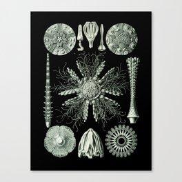 Ernst Haeckel - Scientific Illustration - Echinidea (Sea Urchins) Canvas Print