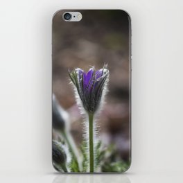 Opening Pasque Flower iPhone Skin