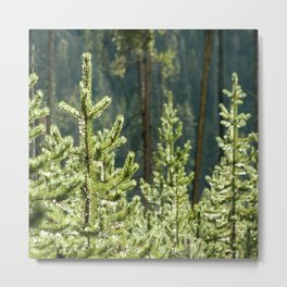Young Lodgepole Pines after a rain Metal Print