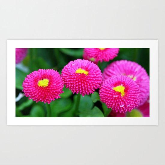 Pink bellis Art Print