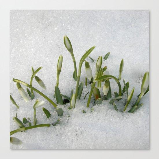 snowdrop II Canvas Print