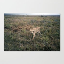 Lone Lion. Canvas Print