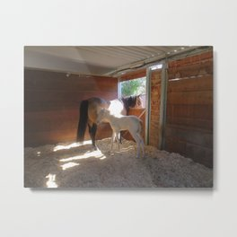 Silver perlino Rocky Mountain Horse Metal Print